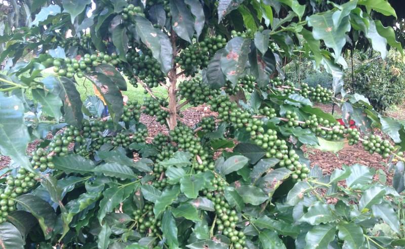 lavoura cafe verde